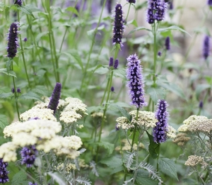 planting design with agastache and achillea